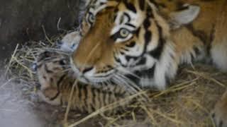 БЕБИ  БУМ  ПРОДОЛЖАЕТСЯ !!! Тигрица защищает своих малышей !!!