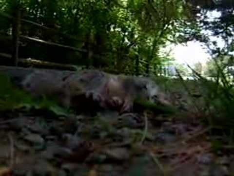 Another Dead Squirrel Lost To Railroad History - Gague 00