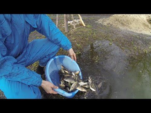 Выращивание карпа в маленьком пруду возле дома, эксперимент. ч16. зарыбление дезинфекция рыбы