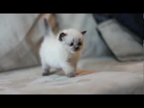 4 week old Cute Himalayan Kitten 3