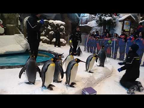 REAL PENGUINS AT SKI DUBAI, MALL OF EMIRATES. #dubai #penguins #snow #nature #birds #animals
