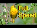 Masteran Cara Burung Nembak Rapet Variasi Full Speed Omkicau(.mp3 .mp4) Mp3 - Mp4 Download