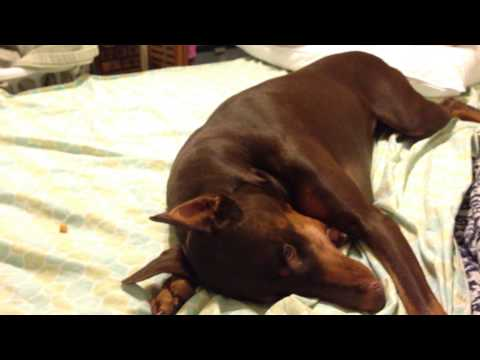 Spoiled Doberman Temper Tantrum