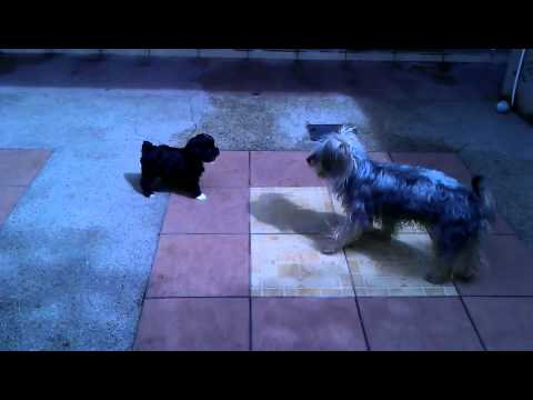 Mixed Breed Puppy For Sale - 1 Month, Cross Breed Poodle A..