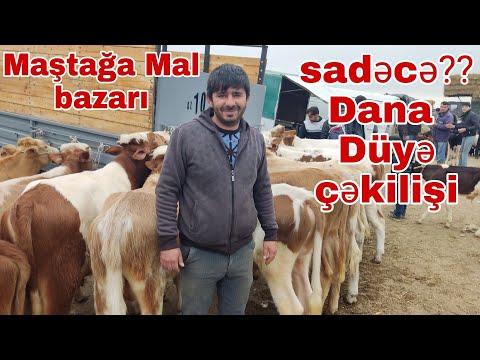 Maştağa Mal bazarı ( Dana düyə) video çəkilişi 10,10,2021 #mastagamalbazari #mastagaqoyunbazari