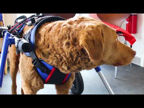 Rainy Chesapeake Bay Retriever on Wheels!