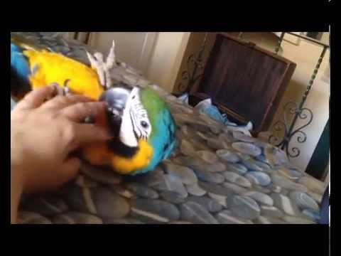 Ara ararauna: Guacamayo azul y amarillo