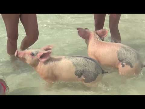 Swimming Pigs & Piglets in Exuma Bahamas