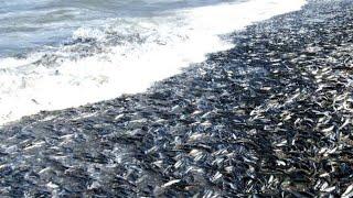 Сотни тысяч рыб подошли к берегу на Сахалине. Гигансткий урожай селедки