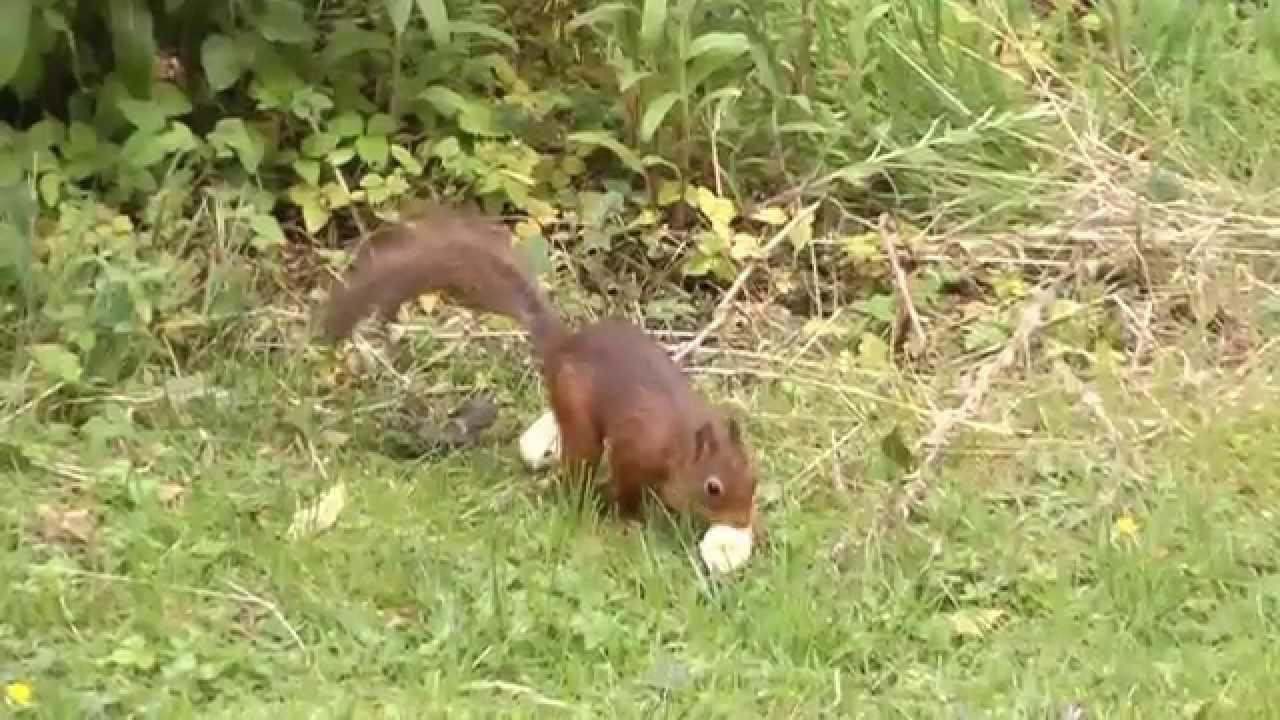 Eichhörnchen Im Garten : eichh rnchen im garten 26 7 2015 youtube ~ Watch28wear.com Haus und Dekorationen