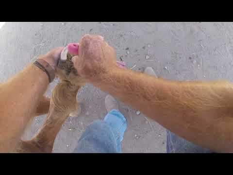 Cleaning hooves and treating thrush