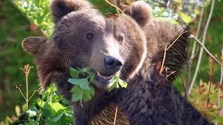 """""""Медведь"""". Жизнь в природе диких животных.  Фильм № 3"""