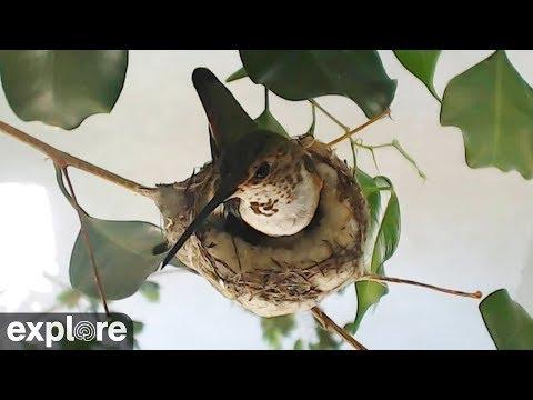Rosie Hummingbird's Nest powered by EXPLORE.org