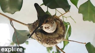 Rosie Hummingbird's Nest powered by EXPLORE.org thumbnail