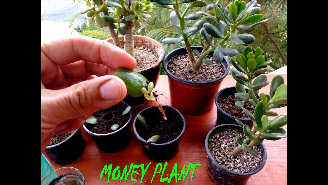 How to start growing a money tree from the process I set it in the water, and the leaves fall off in the process