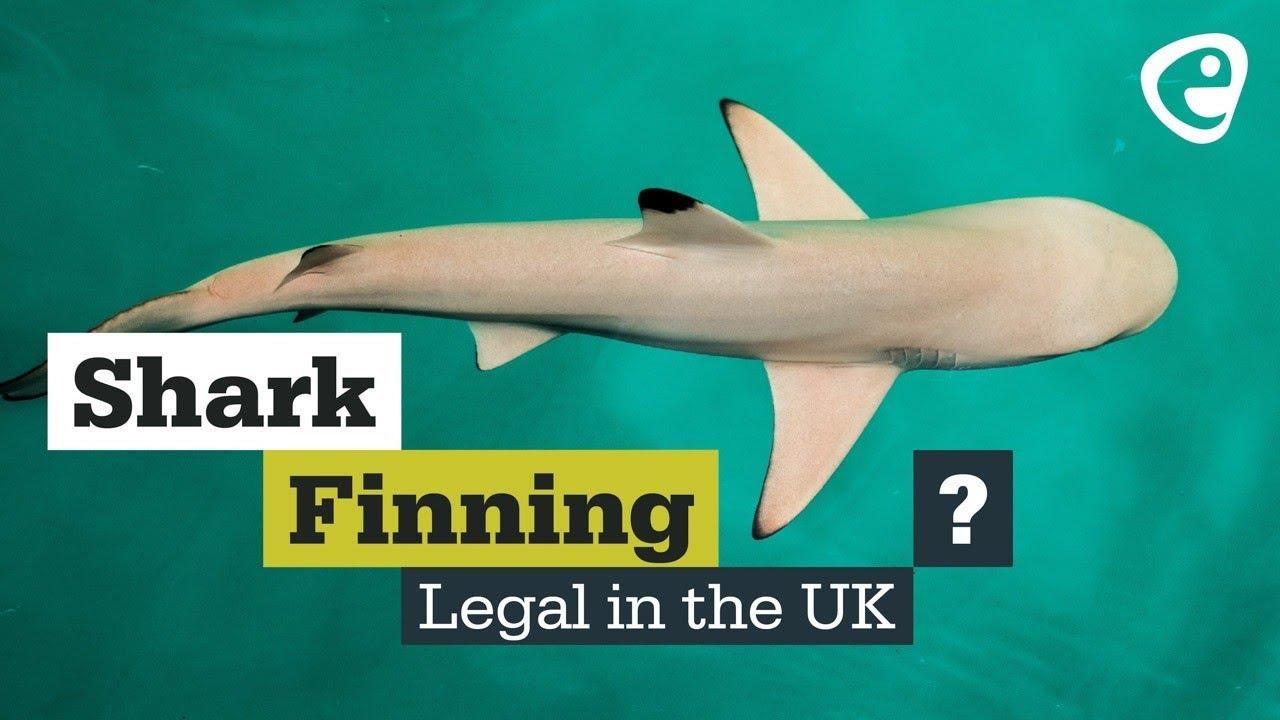 Shark Finning Legal in the UK?