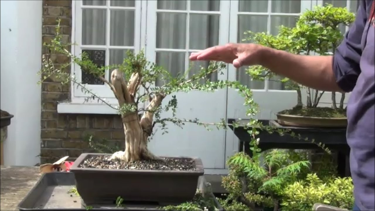 How To Grow A Bonsai Tree From Collected Material Lonicera Nitida Wiring Video Part 2