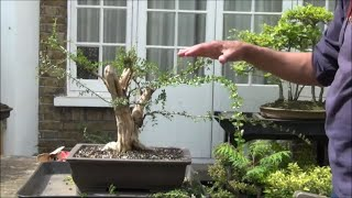 How to grow a bonsai tree from collected material -  Lonicera Nitida Part 2