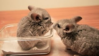 Baby Chinchilla Dust Bath Debut
