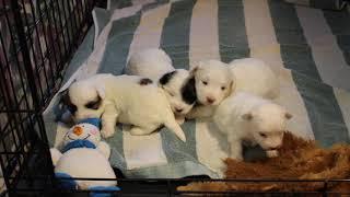 Coton Puppies For Sale - Isha 10/31/19