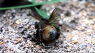 Муравьи разделывают слепня (ants dress gadfly) — HD