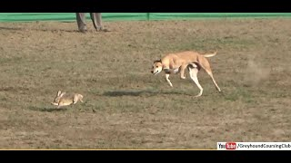 Gambar cover coursing dogs 2019 | dog race | galgos y liebres | greyhound vs rabbit