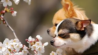 Chó Chihuahua - Ưu Điểm Và Nhược Điểm