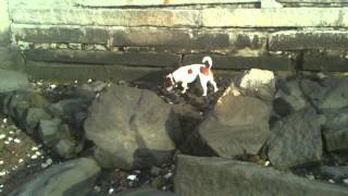 Monty- The Jack Russell Terrier Ratting