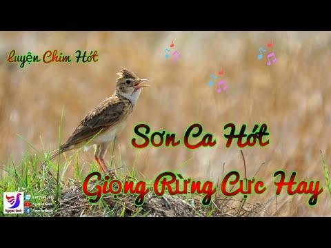 ✅ Tiếng Chim Sơn Ca Hót Giọng Rừng Cực Chuẩn - Không Tạp Âm || Nguyên Sách – Tập 110