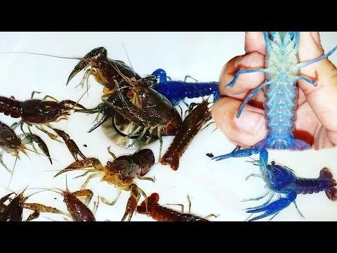 Identifying BLUE LOBSTER VS GIRL Crawfish!
