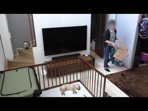 家に帰ってきたら ラブラドールの子犬が寝ていた /  生後49日 Labrador retriever チャピーの成長日記 #02