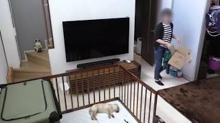 2018.5.19 我が家にラブラドールレトリーバーの子犬が来たんですが、予...