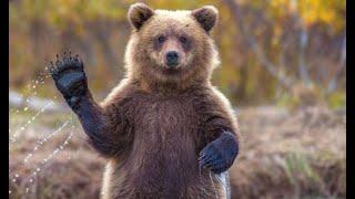 Бурый медведь и интересные факты о нем