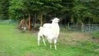 Uber the llama chasing the new alpacas