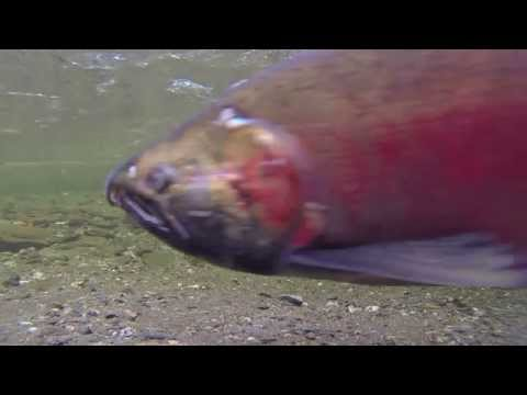 Nice underwater video of a salmon