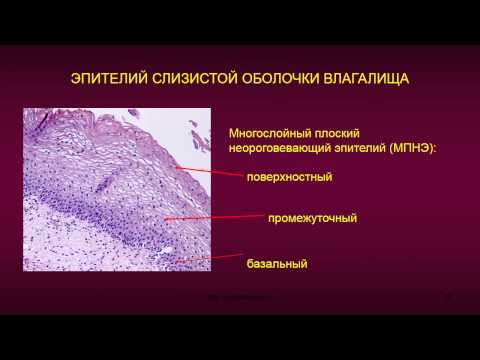 Женская половая система. 6. Шейка матки. Влагалище. Молочная железа