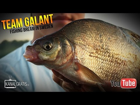 Bream Fishing in Sweden | Team Galant (English Subtitles)