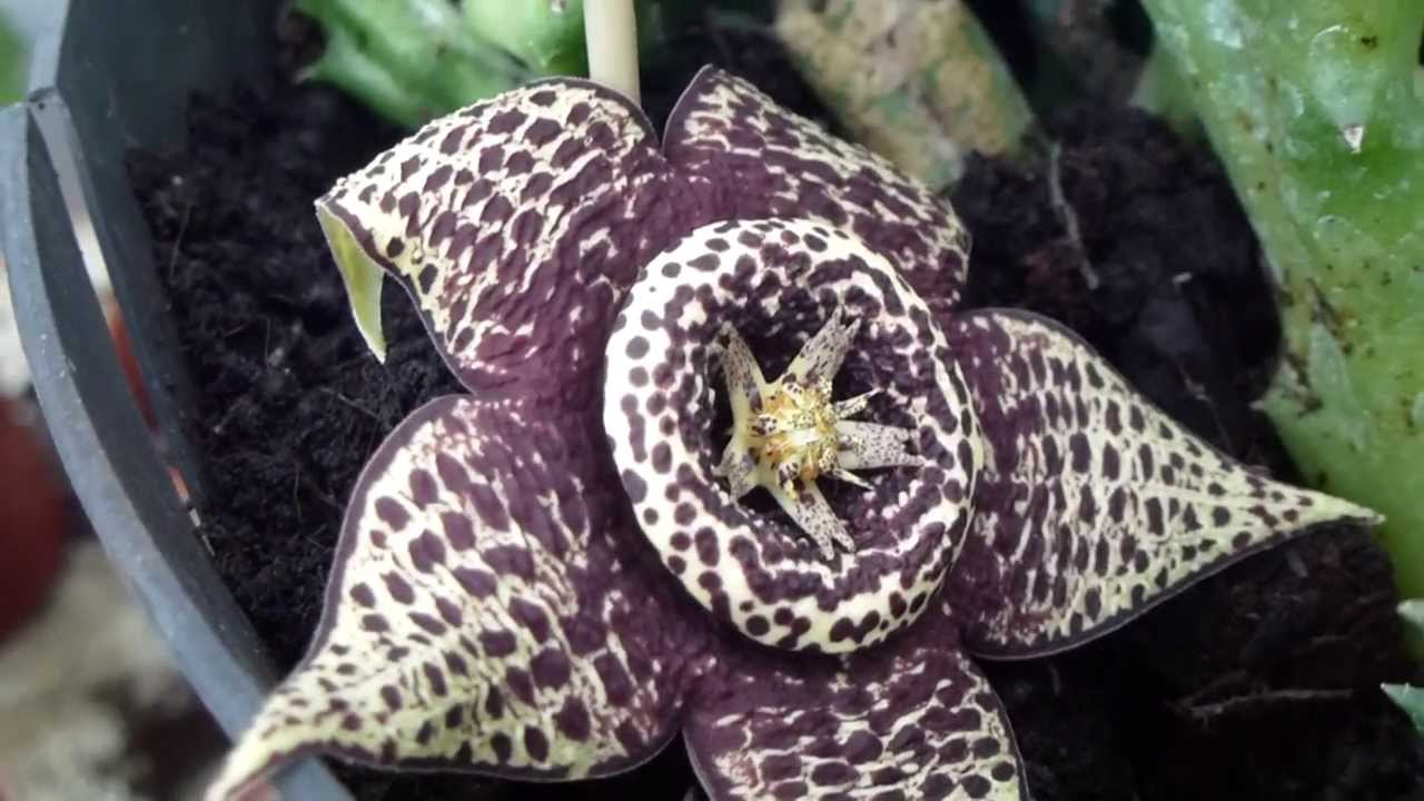 Carrion flowers stapelia variegata s stjarna hr bl m for Stapelia variegata