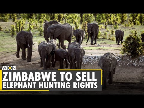 Zimbabwe to sell elephant hunting rights for endangered elephants | Latest English News | World News