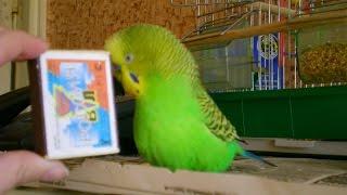 Волнистый попугай борется со спичечным коробком