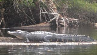 kayaking with gators in the myakka river
