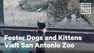 Adorable Foster Animals Visit San Antonio Zoo | NowThis