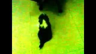 Tiny Toy Female Puppy Shihtzu Playing Name Heidee