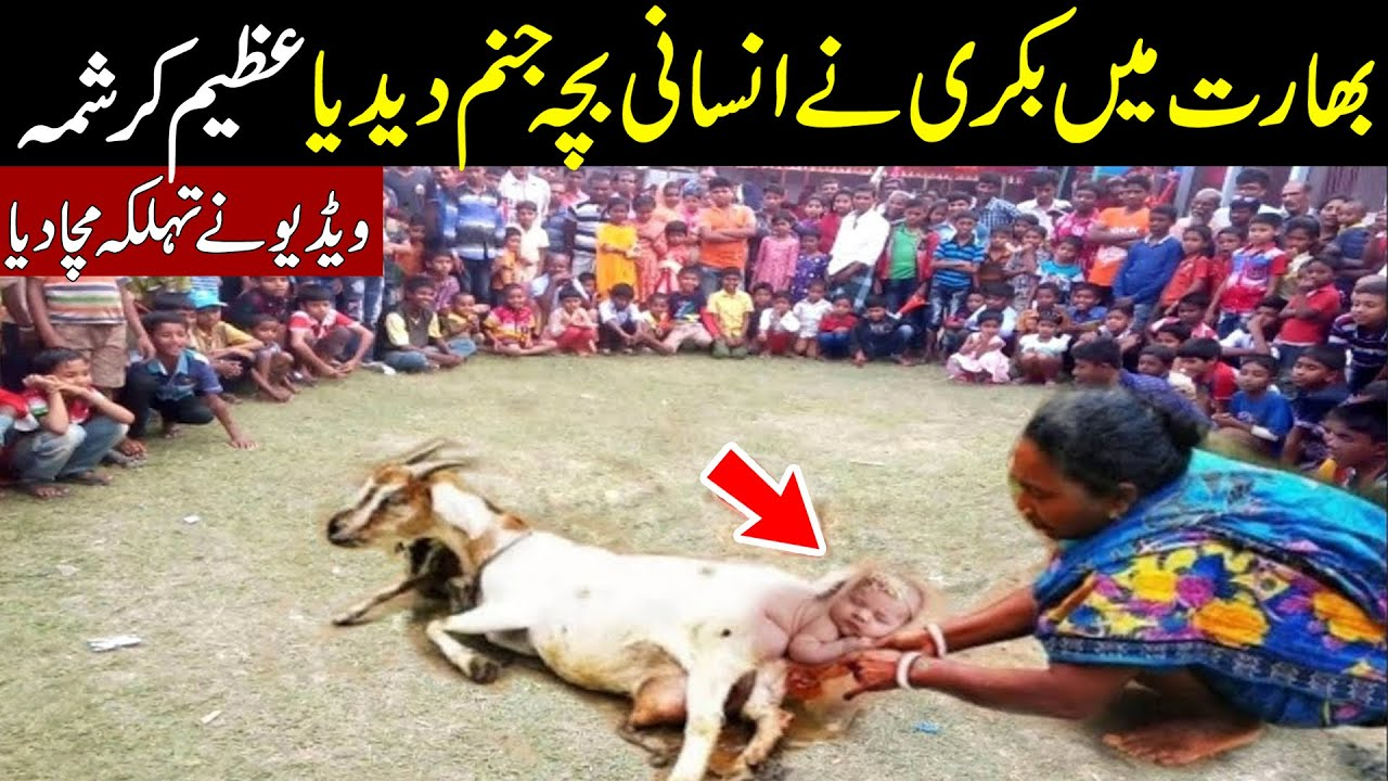 Amazing Goat Kid's Birth In India || Bakri Ka Anokh Bacha || Seekh Tv HD (720p)