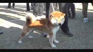 柴犬物語--平成22年 日本犬保存會107回 内閣総理大臣賞光神竜号.wmv thumbnail