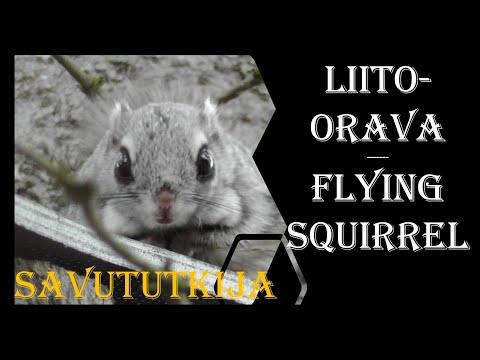 Liito-orava - Flying