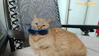 선글라스가 어울리는 고양이 천둥 sunglasses c…