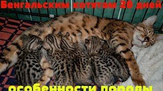 Бенгальским котятам 20 дней. Особенности породы.