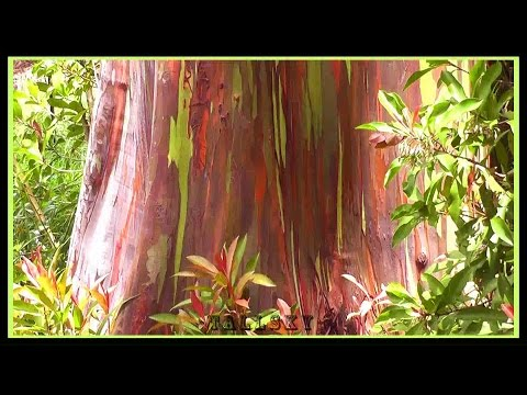 Maui Rainbow Eucalyptus Trees on Hana Road - Directions/Info