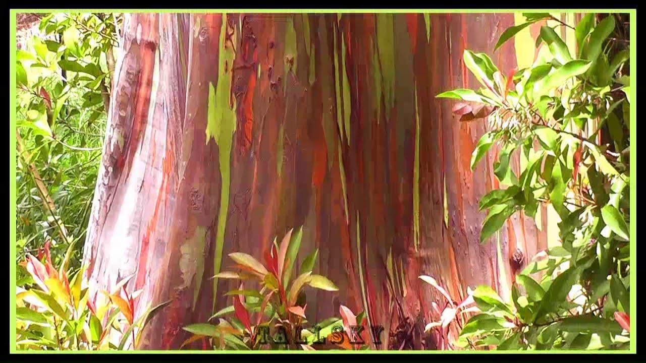 maui rainbow eucalyptus trees on hana road directions info youtube